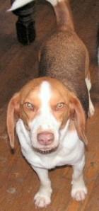 Sherman Potter, the beagle