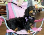 Dagwood is a young and energetic Dachshund/Spaniel mix