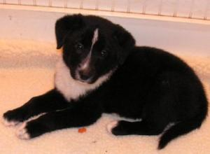 Dutch in his early days with Good Dog Rescue