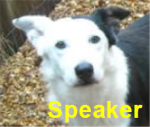 Speaker is a lovely border collie who needs a foster home so he can gain weight and begin treatment for heartworm