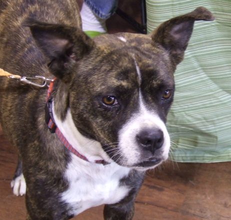 Our Boston Terrier, Boxer Mix, Betsy, is lovely. Don't you agree?