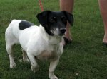 Dottie is our new 8 yo Jack Russell Terrier rescue.