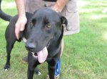 A new black lab-type dog who needs a home.