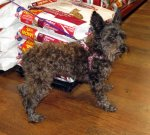 Angel is a young Schnauzer Poodle mix