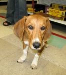 "Amelia is part Basset Hound, part ""we're not really sure,"" and ALL love!"