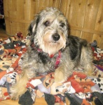 Gretchen is a Schnauzer mix who is beyond wonderful - from the Memphis Animal Shelter.