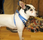 Mabel is a Fox Terrier mix we got from a vet clinic after she was turned in a stray. She's sweet.
