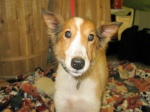 Rhett is a Shetland Sheepdog Sheltie mix who came to us from a breeder release program. He's adorable. Just like Lassie.